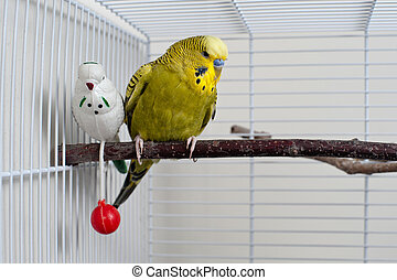 Budgie - A green domestic budgie sitting with his toy friend...