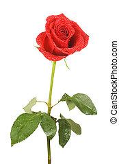 バラ, 白, 隔離された, 背景, 赤