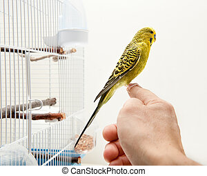 Canary vird - A tame domestic tropical bird sitting on a...