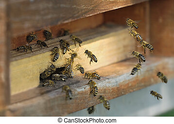 Honeybees flying into their hive - Group of honeybees flying...