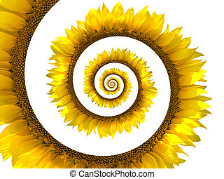 Sunflower spiral on white background