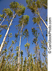 Eucalyptus in Blue Sky - eucalyptus trees on the background...