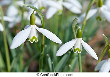Snowdrops - The first flowers after the winter - Snowdrops...