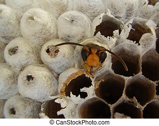 Wasp emerging from nest - Close up of a wasp emerging from a...