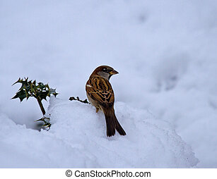 House Sparrow male in snow