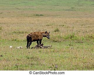 Spotted Hyena on carcase on the Masai Mara, Kenya