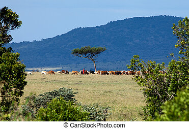 Maasai Herdsman with cattle on the Masai Mara, Kenya