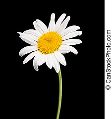 ox-eye daisy - white camomile isolated on black