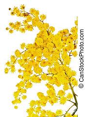 fioritura, ramo, mimosa