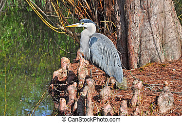 Blue heron standing by edge of pond