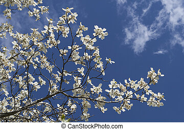 Dogwood Tree Blooms - Dogwood tree blooms on a mostly sunny...