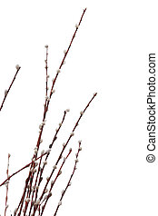 Pussy willow catkins - Willow twig isolated on white