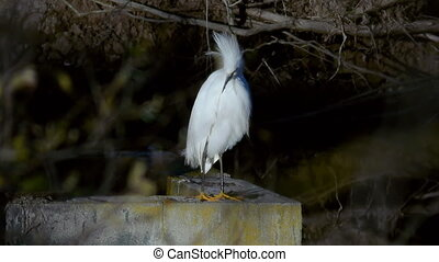 White Heron scratching