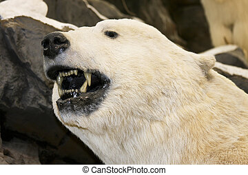 growling polor bear - polar bear close up showing teeth and...