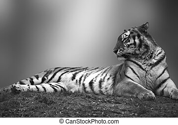 Beautiful tiger laying down on grassy bank in black and...