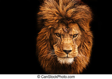 Stunning facial portrait of male lion on black background -...