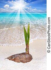 coco, broto, árvore, tropicais, palma, praia, crescer