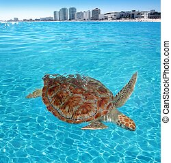 Green sea Turtle Caribbean sea surface Cancun Mexico...