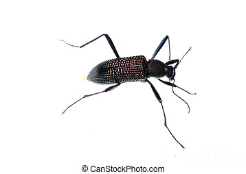 insect ground beetle isolated in white