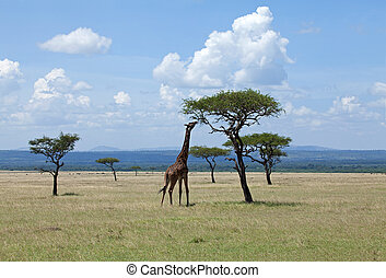 Giraffe browsing on Acacia on the Masai Mara - Masai Giraffe...