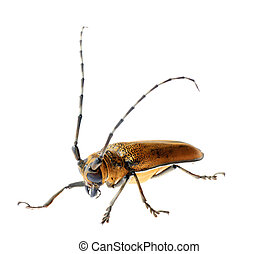 insec long horn beetle