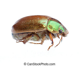 insect scarab beetle
