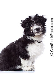 black and white havanese bichon sitting - Cute black and...