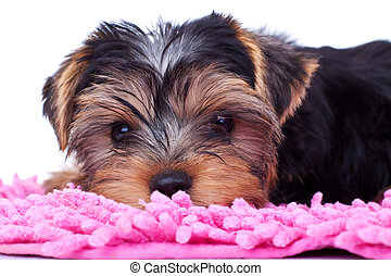 yorkshire puppy, resting on pink blanket - Portrait of...