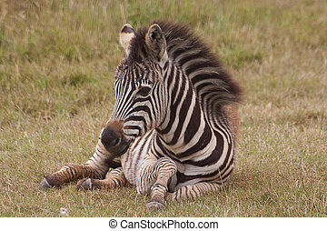 young zebra sitting on grass