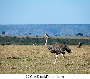 Ostrich on the Masai Mara - Female Ostrich walking on the...