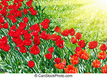 May tulips - red tulips on a background of grass and the sun