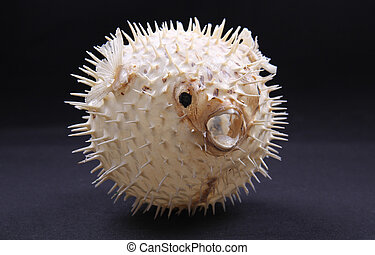 puffer fish - skeleton pufferfish puffed up on a black...
