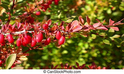Branch of barberry