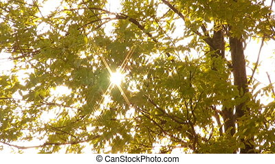 Sunlight through trees - Sunbeams appear through foliage of...