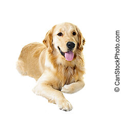 Golden retriever dog - Golden retriever pet dog laying down...