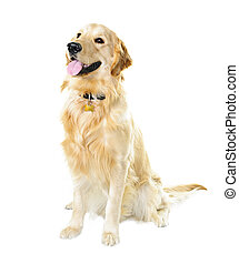 Golden retriever dog - Golden retriever pet dog sitting...