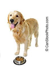 Golden retriever dog with food dish