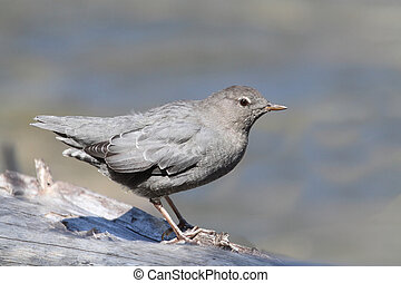 American Dipper (Cinclus mexicanus) in Yellowstone National...