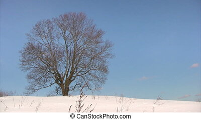 Winter trees - Panorama shot of two lonely trees, wintertime...