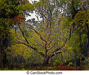 Florida Live Oak Tree - Beautiful live oak tree on a spring...