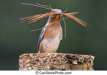 Eastern Bluebird (Sialia sialis) on a log with nesting...
