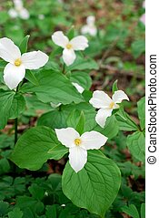 Trillium Flowers in a forest