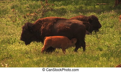 (1113A) Buffalo bison calf nursing - American bisons...