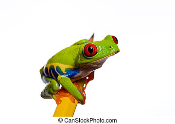 Frog on a pencil - A small red eyed tree frog sitting on a...