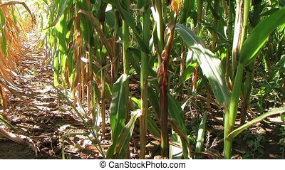 Cornstalk Tilt - Cornstalk tilt from ground to sky