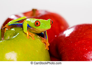 Red Eyed Tree Frog and apples - red eyed tree frog and...