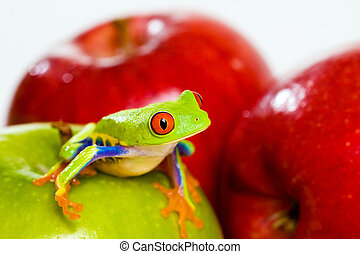 Red eyed tree frog on apples - A red eyed tree frog on...