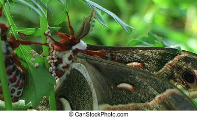 Cecropia Moths Mating 03 - Adult cecropia moths mating,...