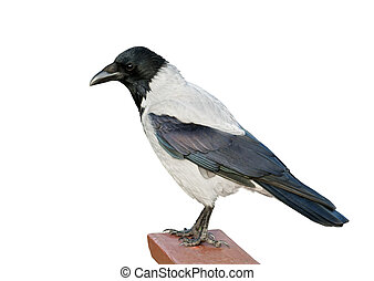 Isolated Hooded Crow - A hooded crow isolated on white