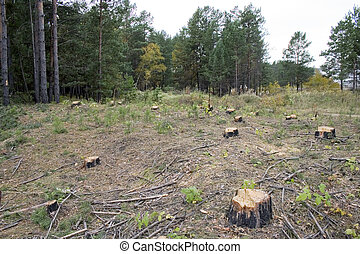 A forest with the trees cut down - Stump of a freshly cut...